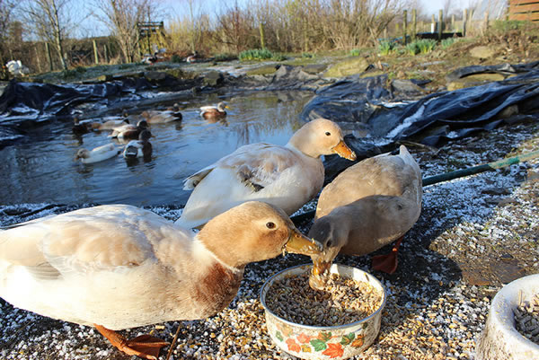 Picture of Call Ducks feeding on grain and hen food mixture with the pond in the background.