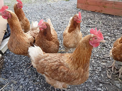 Picture of Hybrid hens exploring their outdoor run