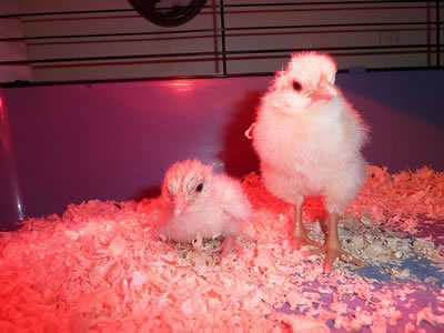 Hatching Chicken Eggs