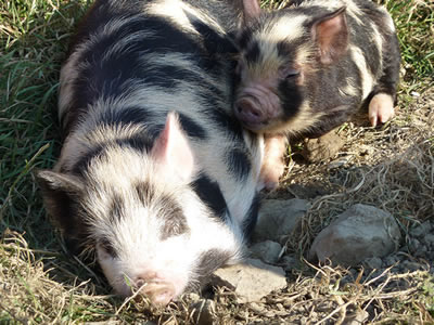 Picture of two pet pigs