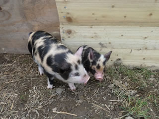 Pictures of our two pet pigs