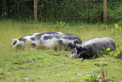 Pictures of our kunekune pigs that we keep as pets