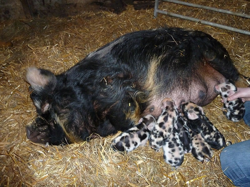 Newly born kunekune piglets with their mum