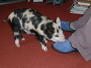 Picture of pet pig 5 weeksold in an outdoor run