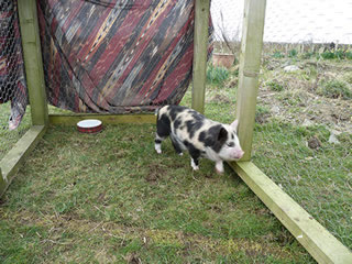 Picture of pet pig 5 weeks old now in temp outdoor run
