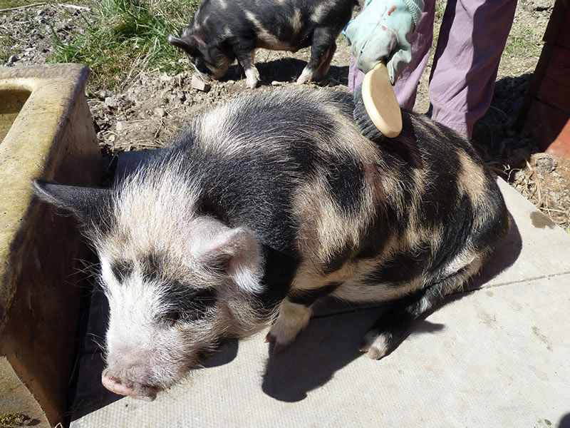 Looking after pet pigs