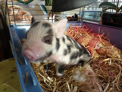 Cute 9 days old pig