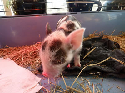 Cute 2 days old piglet