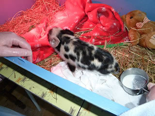 Pictures of Geordie as a 1-5 day old piglet