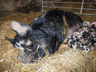 Pictures of newly born kunekune piglets with mum