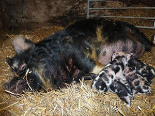 Kunekune piglets with mum - pictures of newly born piglets