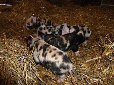 Piglets with mum pictures