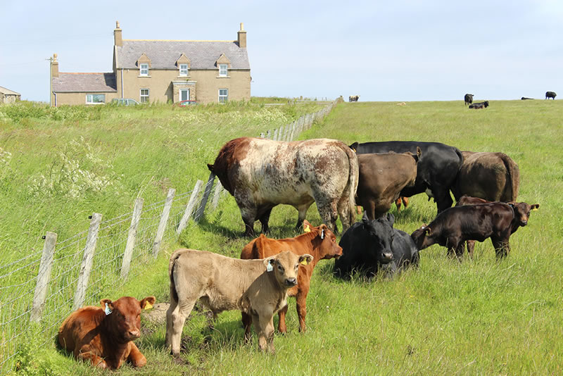 Picture of farm / croft in the county of Caithness with pictures of cattle on lush grass fields