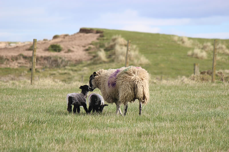Pictures of sheep with lambs in the Highlands of Scotland.